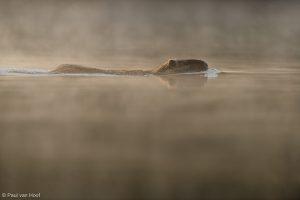 Beverrat zwemmend in ochtendmist.  - Fotograaf: Paul van Hoof