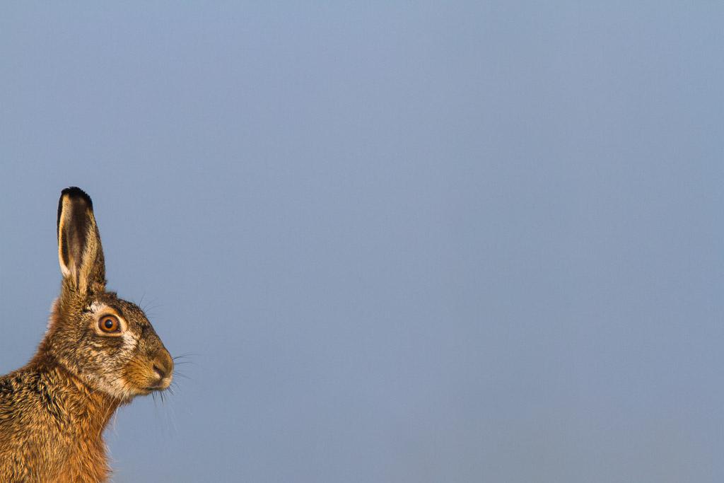 Polderhaas