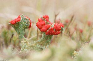 Een mooi exemplaar van de rode heidelucifer, door de vegetatie heen gefotografeerd.