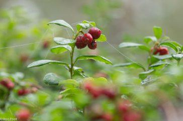 Rode bosbessen op een mistige morgen.