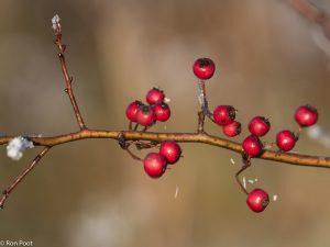 De bessen van de meidoorn kleuren het landschap tot ver in de winter. - Fotograaf: Ron Poot