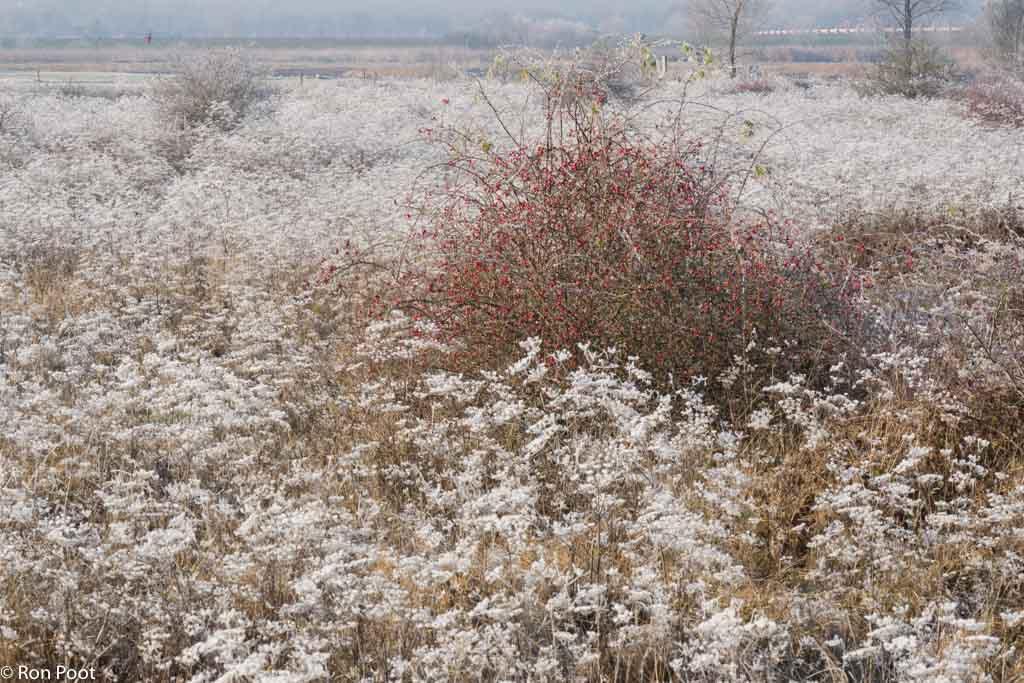 Een struik met rode bessen in een veld witte bloemen. Dat wil zeggen: uitgebloeid en vol rijp.