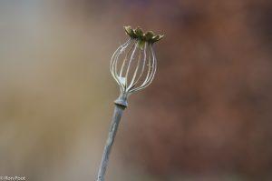 Het overgebleven skelet van een doosvrucht van papaver aan het eind van de winter. - Fotograaf: Ron Poot