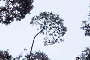 Uitgebloeide tuinplanten zoals deze Viburnum zijn ook in de winter dankbare objecten. - Fotograaf: Ron Poot