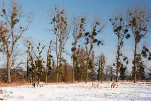 Maretakken moet je niet verwisselen met heksenbezems! Die zijn niet groen, maar zijn woekeringen van boomtakken. Ze zijn vaak te vinden in berken. - Fotograaf: Bob Luijks