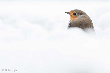 Roodborstje in de sneeuw.