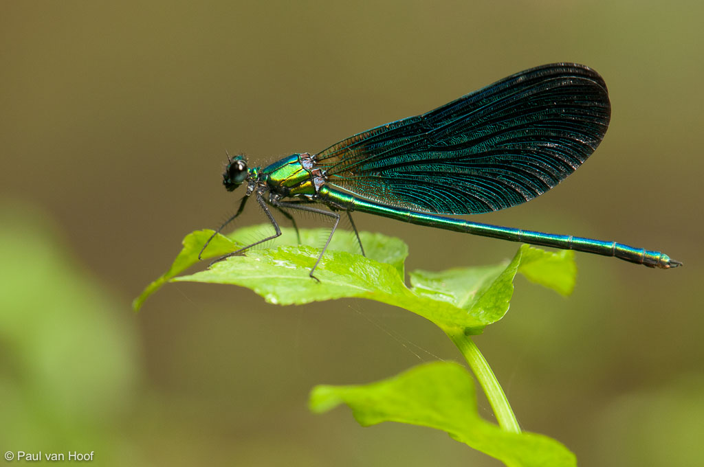Bosbeekjuffer mannetje; Male beautiful demoiselle