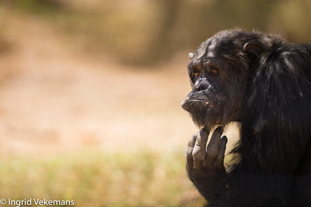 Chimpansee in Ol Pejeta