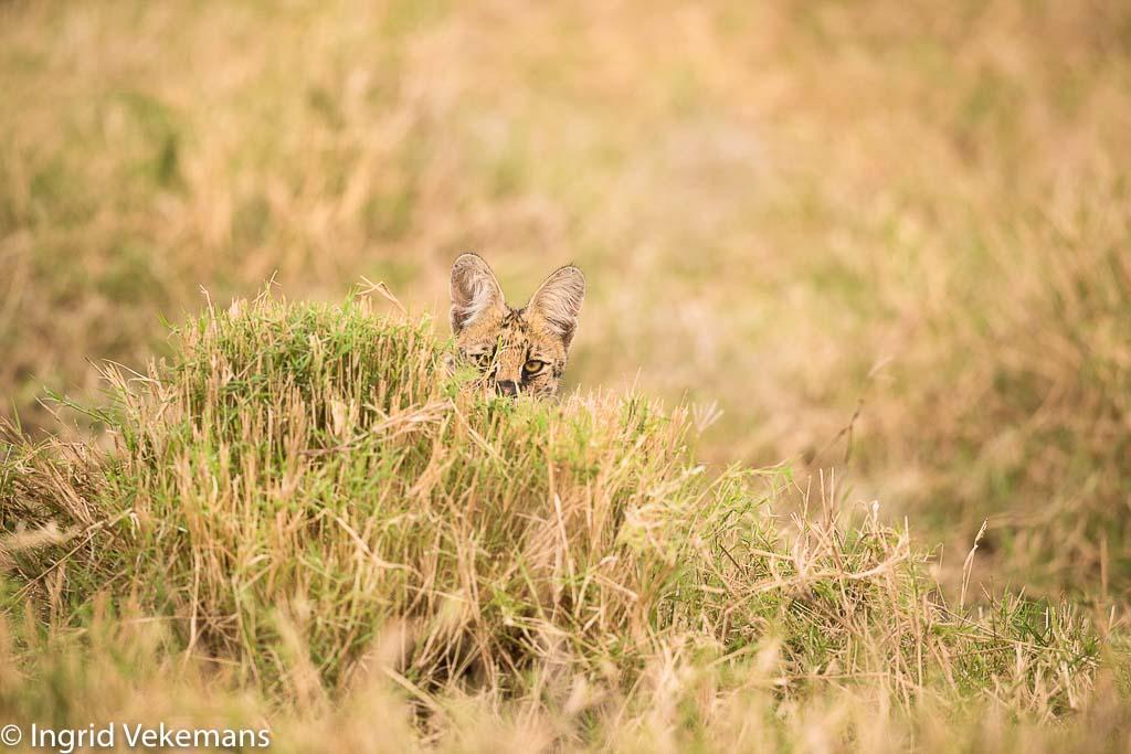 Nieuwsgierige serval in Meru NP.