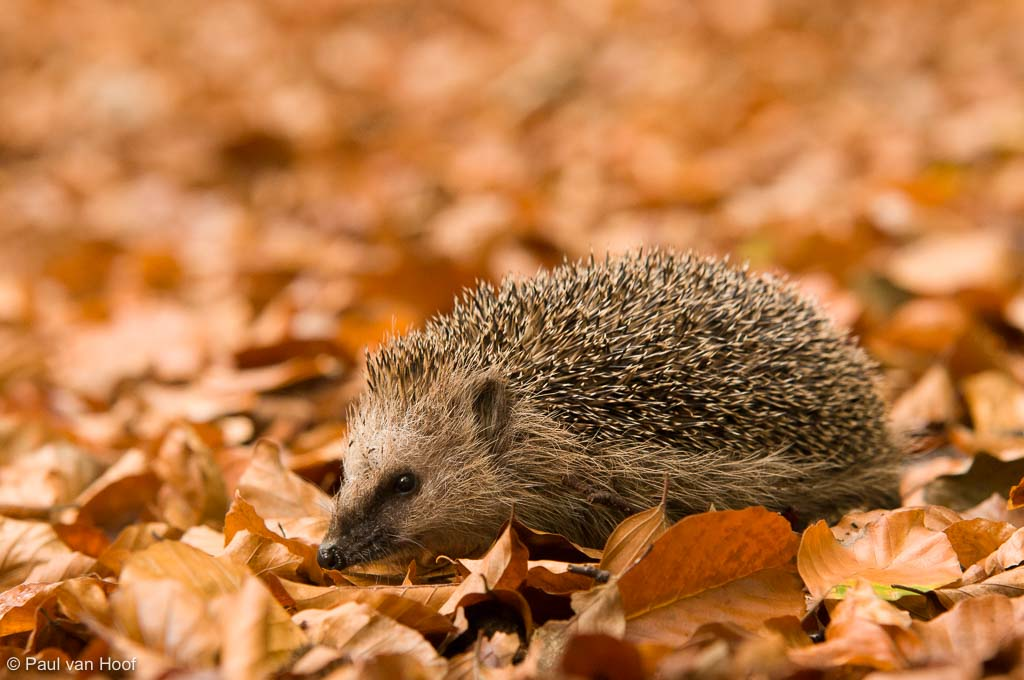 Egel in strooisel op bosbodem in beukenbos; Hedgehog in leaf litter on beech forest floor