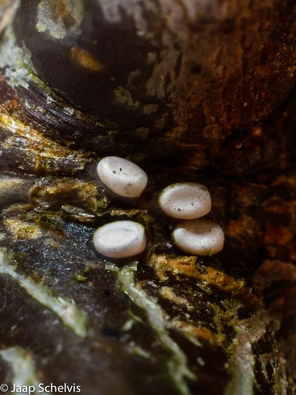Bijvangst! Op zoek naar de eitjes van de sleedoornpage vonden we onder andere een pop van een oranjetip en ook deze 4 eitjes van de blauwrandspanner.