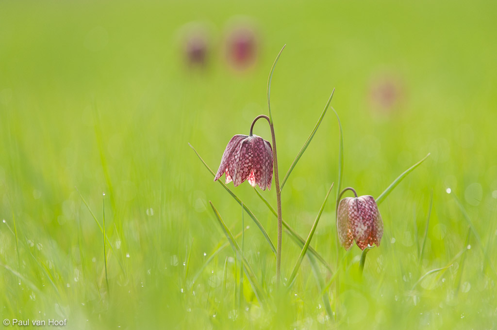 Groep wilde kievitsbloemen in grasland; Group of snake's head fritillaries in field of grass