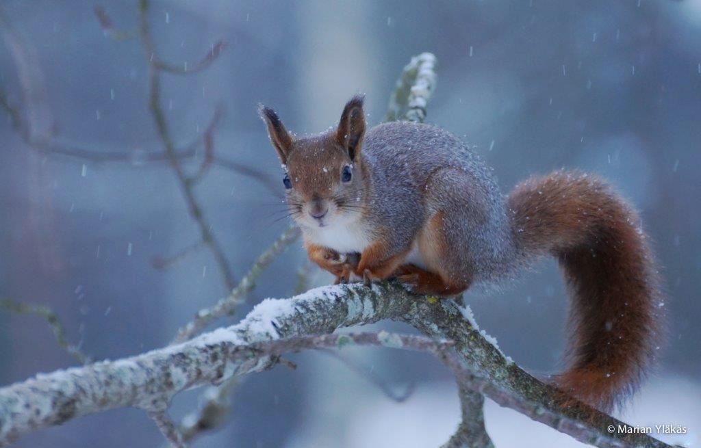 Winterse eekhoorn
