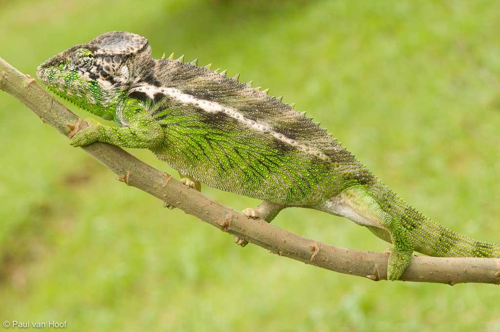 Furcifer verrucosus, stekelkameleon