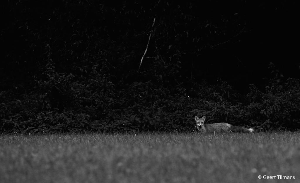 geert_tilmans_bw_fox – NFexport