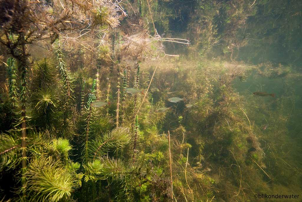 Rietvoorns in landschap met lidsteng