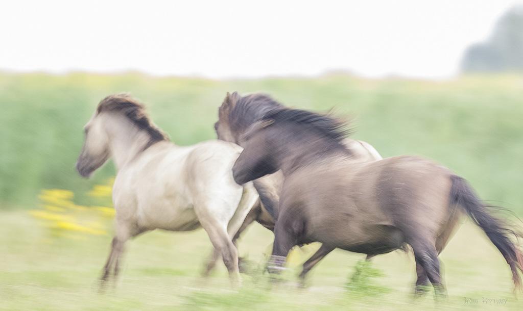 canon 7dII / canon 500mm. // tijdens vakantie in de Oostvaardersplassen kwam ik voor vechtende paarden. tegelijk begon het nog te regenen ook. Toen de drie paarden mij passeerden wou ik een bewegend beeld ervan maken en trok de sluitertijd naar 1/30... dit was het resultaat. Van de paar 100 foto's die ik verzamelde daar kom ik telkens weer naar deze... graag lees ik jullie opmerkingen.