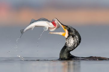 Aalscholver vangt snoekbaars.