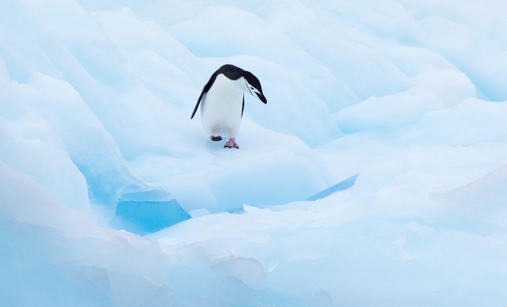 Kinband pinguïn