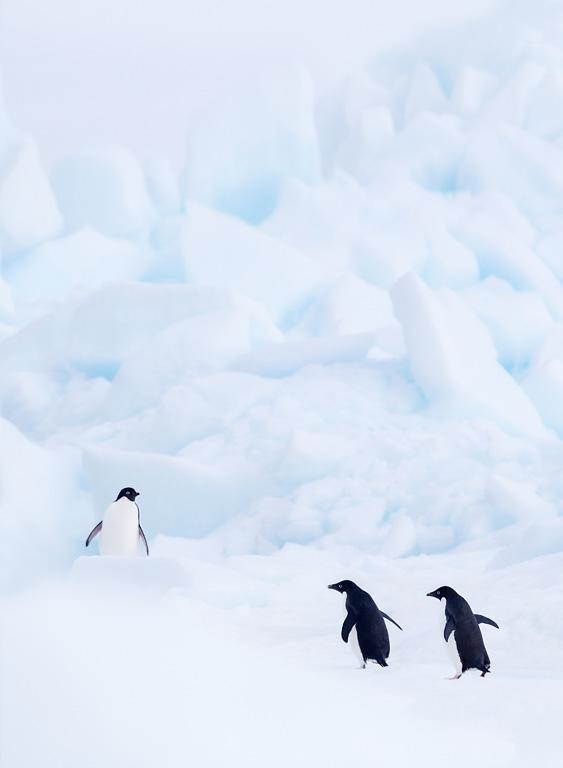 Adélie pinguïns