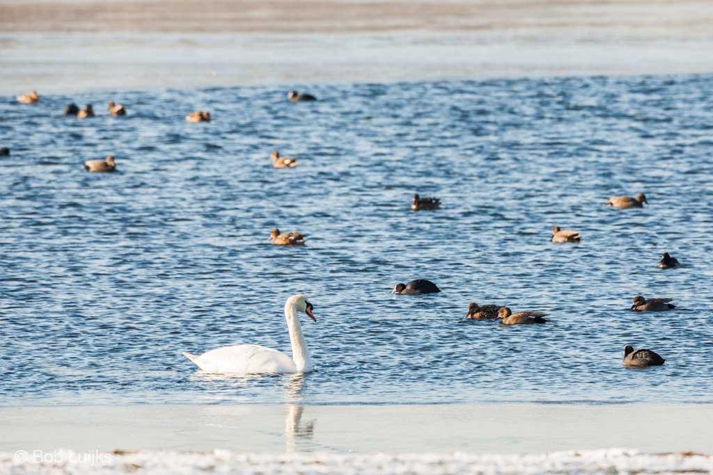 Zwanen, meerkoeten en krakeenden verzamelen zich massaal op een open plek in het ijs.