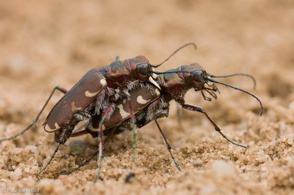 Parende basterdzandloopkevers op stuifzand