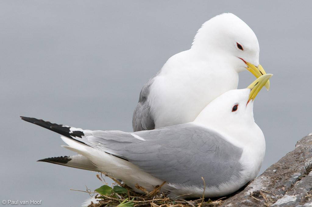 Begroetingsritueel van drieteenmeeuwen die arriveren op het nest;