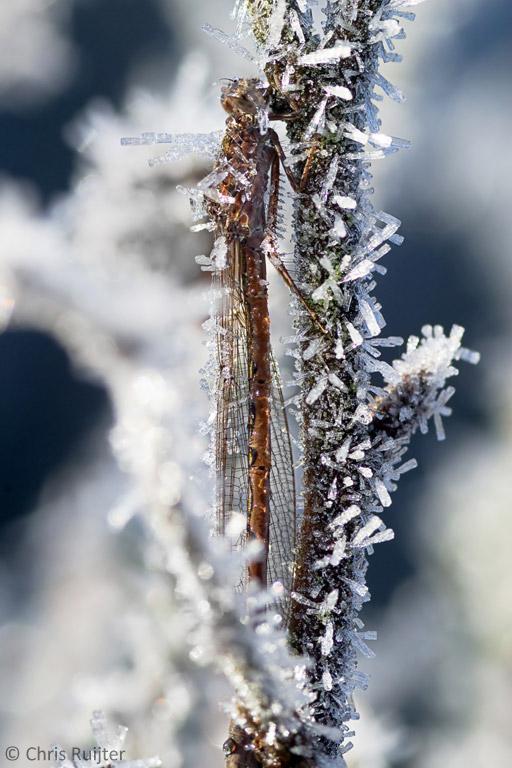 Winterjuffer