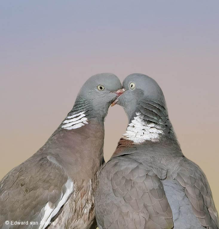Koppeltje duiven