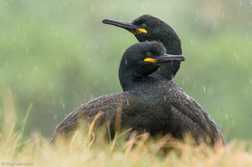 Paartje kuifaalscholvers samen in de regen; Pair of shags sitting together in rain