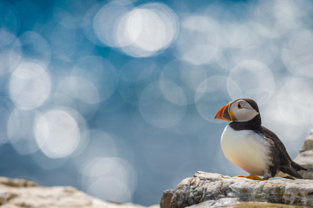Papegaaiduiker op de Farne Islands (UK).