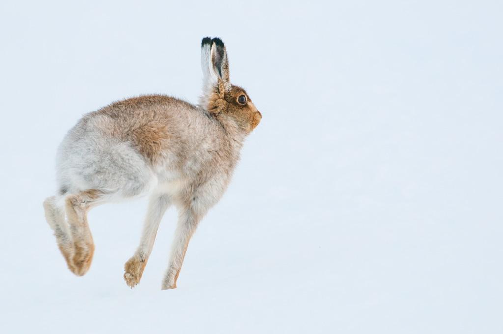 Sneeuwhaas huppelt. Cairgorms NP Schotland.