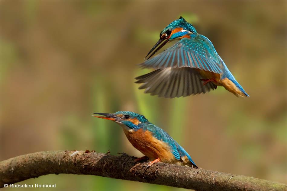 Ijsvogels vlak voor de paring