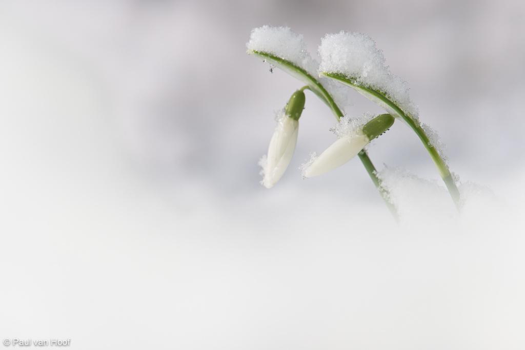 Gewoon sneeuwklokje
