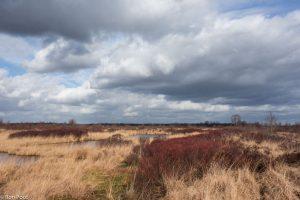 Veenlandschap met op de voorgrond de rode kleur van gagel, vlak voor de bloei. - Fotograaf: Ron Poot