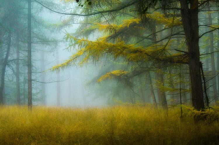 Herfst op de Stippelberg, waar de gouden kleuren van de lariks in het bos perfect bij het gras passen.