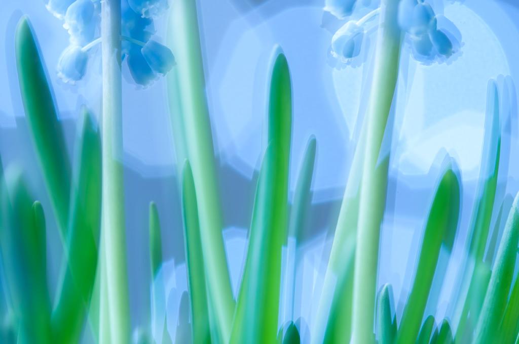 Blauwe-Druifjes