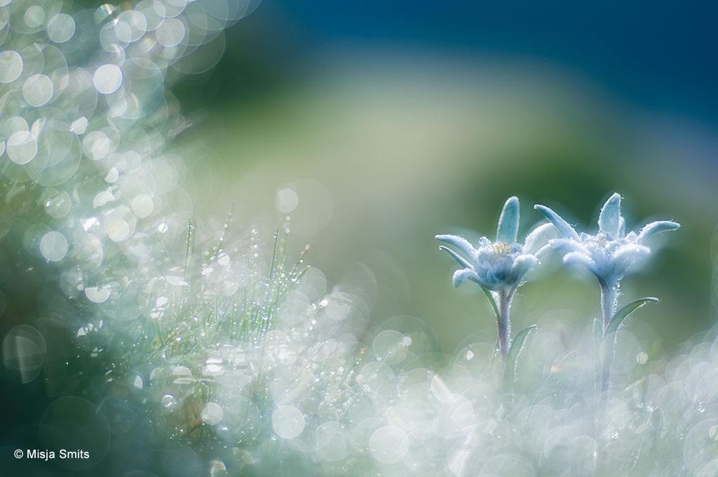 Edelweiss in Oostenrijk