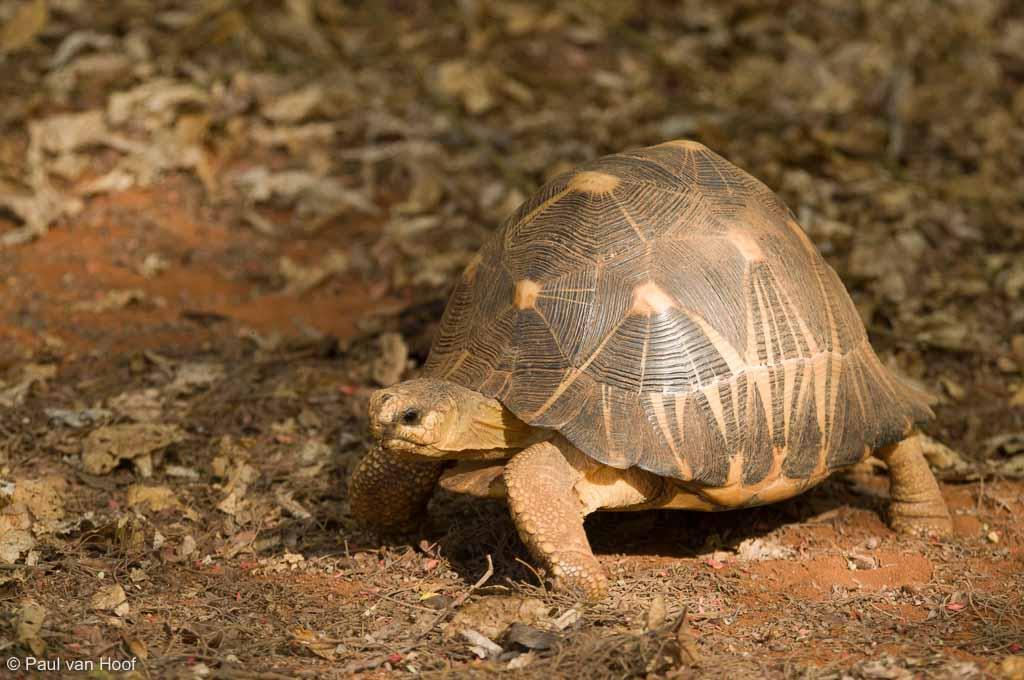 Stralenschildpad (Astrochelys radiata)