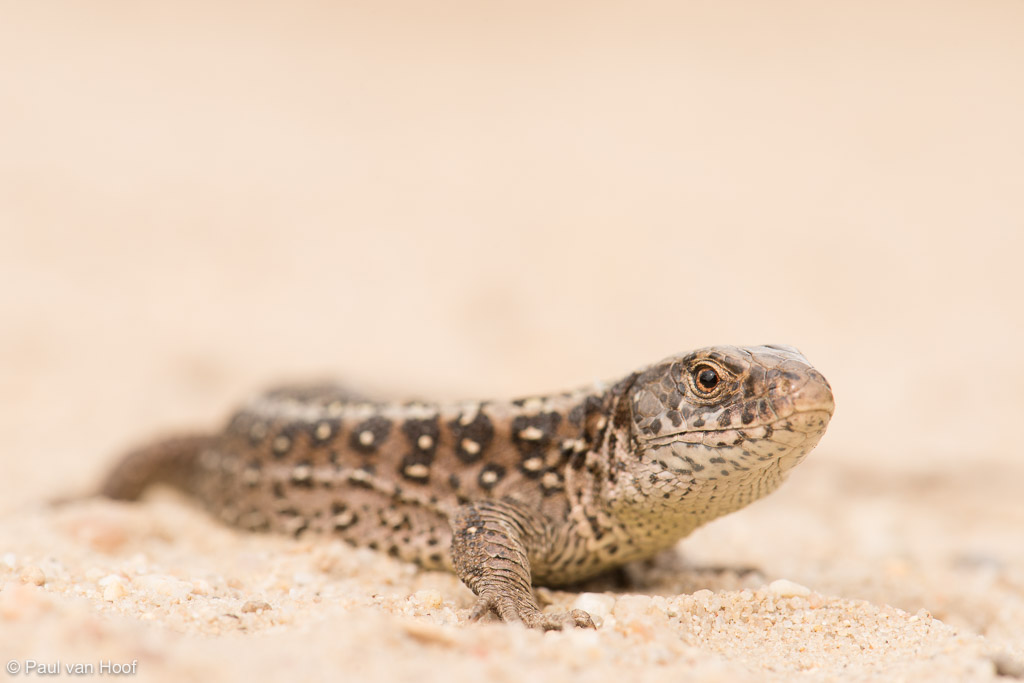 Zandhagedis (Lacerta agilis) female on sand